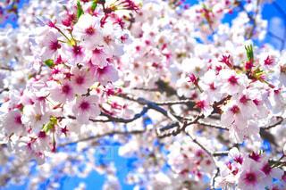 サクラが綺麗な春の日の写真・画像素材[4380350]