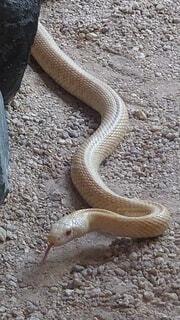 白蛇のクローズアップの写真・画像素材[3994948]