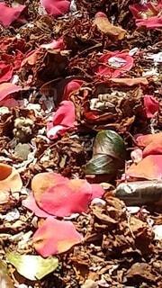 落ち花の写真・画像素材[4321015]