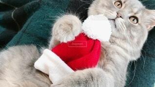 猫 子猫 クリスマス Xmas christmas サンタ コスプレの写真・画像素材[3995618]