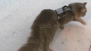 雪の日 猫散歩の写真・画像素材[4036416]