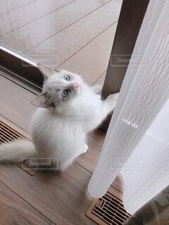 猫 ラグドールの写真・画像素材[4052470]
