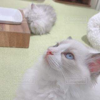 猫 ラグドールの写真・画像素材[4052466]
