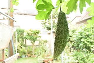 家庭菜園のゴーヤの写真・画像素材[4822801]