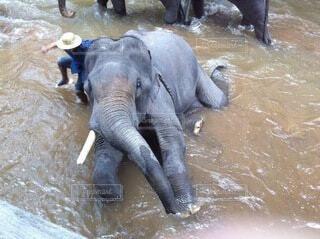 水の体の隣に立っている大きな象の写真・画像素材[4005125]