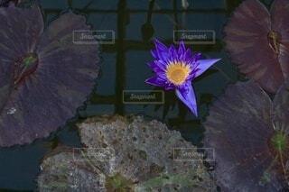 水面に咲く一輪の写真・画像素材[4000845]