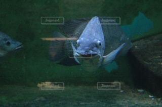 こっち見て笑ってるような魚の写真・画像素材[4000846]