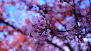 桜のクローズアップの写真・画像素材[4007562]
