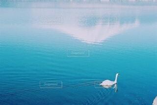 白鳥と富士山の反射の写真・画像素材[4242085]