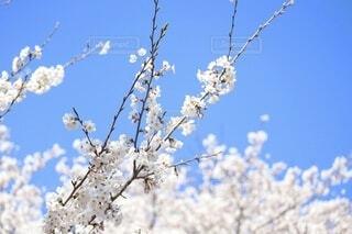 桜の写真・画像素材[4004560]