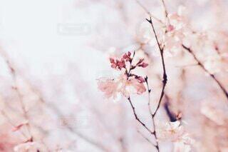 桜舞う日の写真・画像素材[4154345]