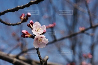 まだ咲かないの写真・画像素材[4219466]