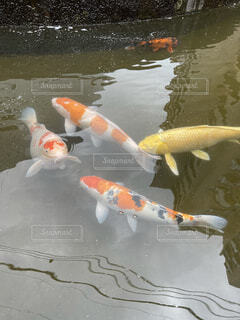 水の中の魚のグループの写真・画像素材[4005348]