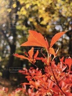 紅葉のクローズアップの写真・画像素材[4017835]