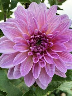 ピンクの花のクローズアップの写真・画像素材[4017898]
