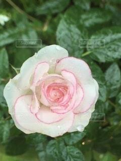 バラに水滴の写真・画像素材[4019505]