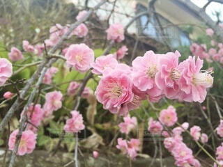 枝垂れ桜の写真・画像素材[4020047]