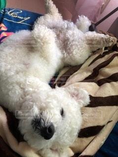 眠る犬の写真・画像素材[4101570]