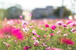 ピンクのコスモスの写真・画像素材[2839214]