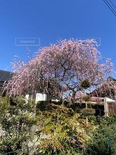 枝垂れ梅の写真・画像素材[4176812]