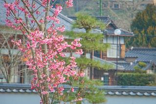 梅の花の写真・画像素材[4252213]