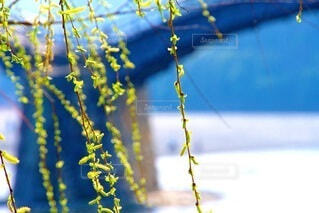 枝垂れと錦帯橋の写真・画像素材[4252967]