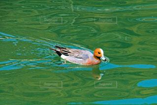 鴨の水泳の写真・画像素材[4254989]