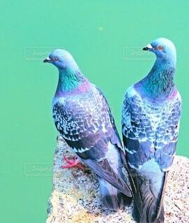 おしどり鳩の写真・画像素材[4256257]