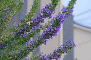 ローズマリーの花の写真・画像素材[4265552]