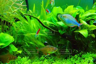 混泳水槽の魚達の写真・画像素材[4308458]