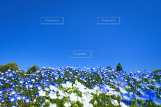 白いネモフィラと青いネモフィラの写真・画像素材[4364401]