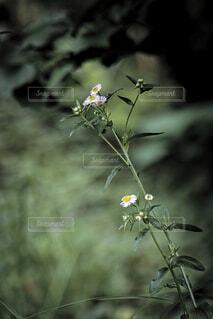 日陰のハルジオンの写真・画像素材[4618631]
