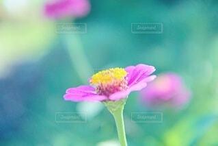 百日草の写真・画像素材[4689537]