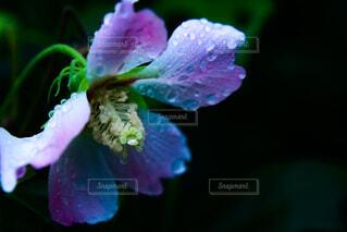 雨の日の花の写真・画像素材[4727690]
