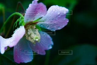 雨の日のお花の写真・画像素材[4727707]