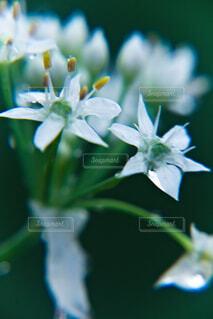 アリウム・コワニーのクローズアップの写真・画像素材[4733113]