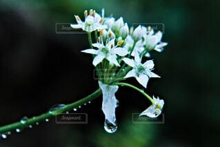 雨露滴るアリウム・コワニーの写真・画像素材[4733115]