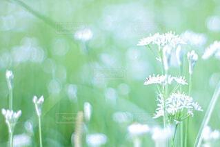 にらの花の写真・画像素材[4799125]