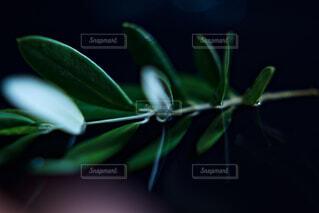オリーブの枝のクローズアップの写真・画像素材[4803864]