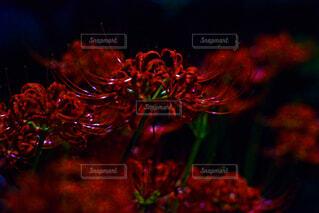 夜の彼岸花の写真・画像素材[4818022]