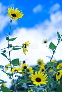 秋なのに咲き誇る向日葵の写真・画像素材[4822429]