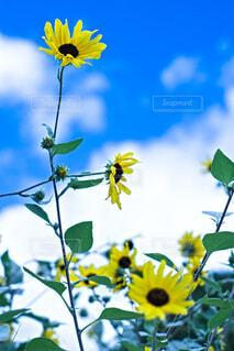 天高く伸びる向日葵の写真・画像素材[4822433]