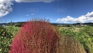 赤いふわふわの植物の写真・画像素材[4943946]