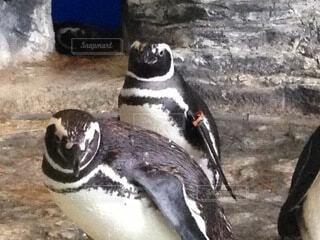 立ってるペンギンの写真・画像素材[4024606]