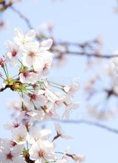 桜の写真・画像素材[3133522]