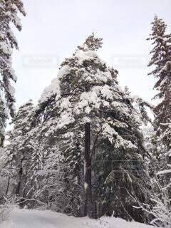 北欧の森の中の雪景色の写真・画像素材[4029330]