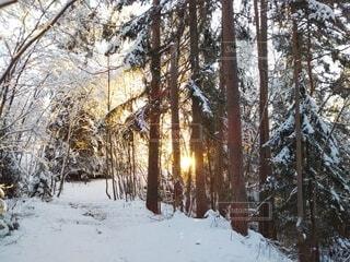 雪に覆われた北欧の森に朝日が射し込むの写真・画像素材[4039736]