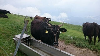 山で生活する牛の写真・画像素材[4041918]