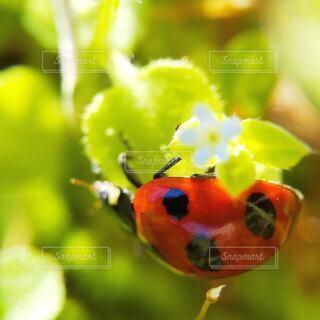 てんとう虫野の花の写真・画像素材[4285000]
