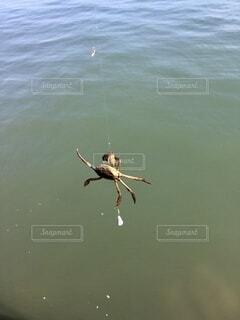 釣りをしてたらひっかかったカニの写真・画像素材[4106426]